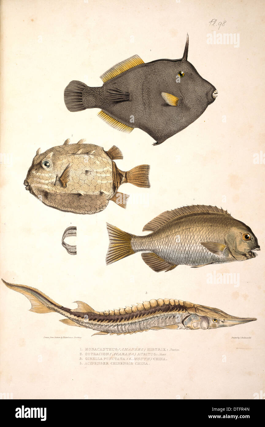Plate 98 from Illustrations of Indian Zoology by John Edward Gray - Stock Image