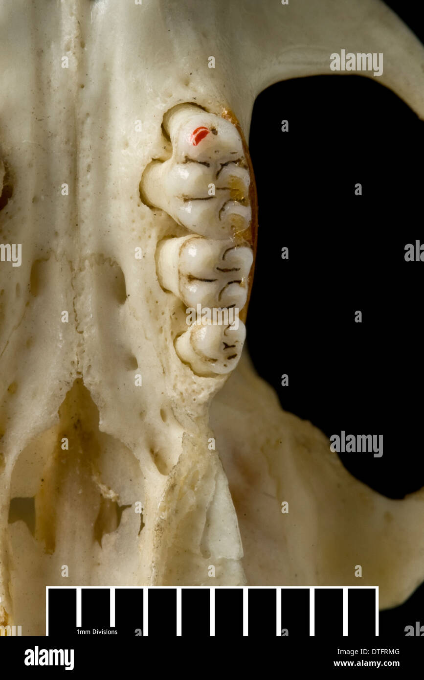 Megalomys luciae, saint lucia giant rice rat (holotype) - Stock Image