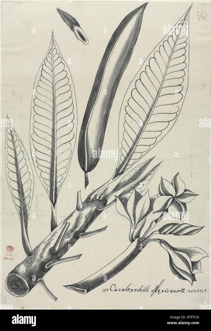 Figure from Descriptiones Fruticum et Arborum Luzonis - Stock Image