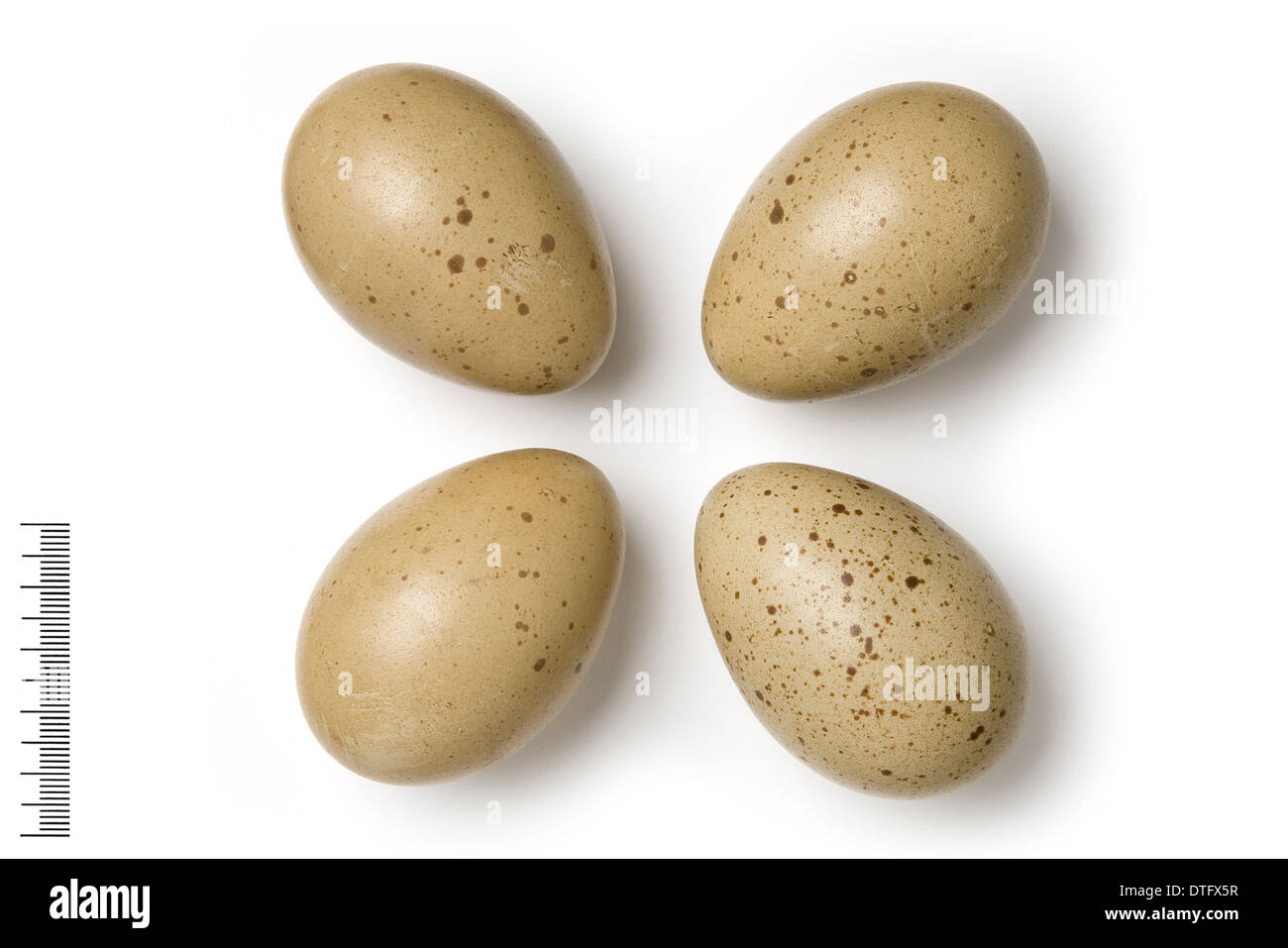 Tetraogallus caspius, caspian snowcock eggs - Stock Image