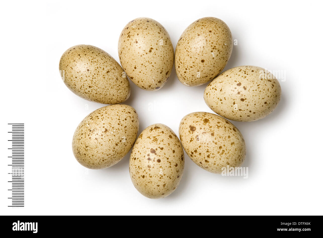 Lyrurus mlokosiewiczi, caucasian black grouse eggs - Stock Image