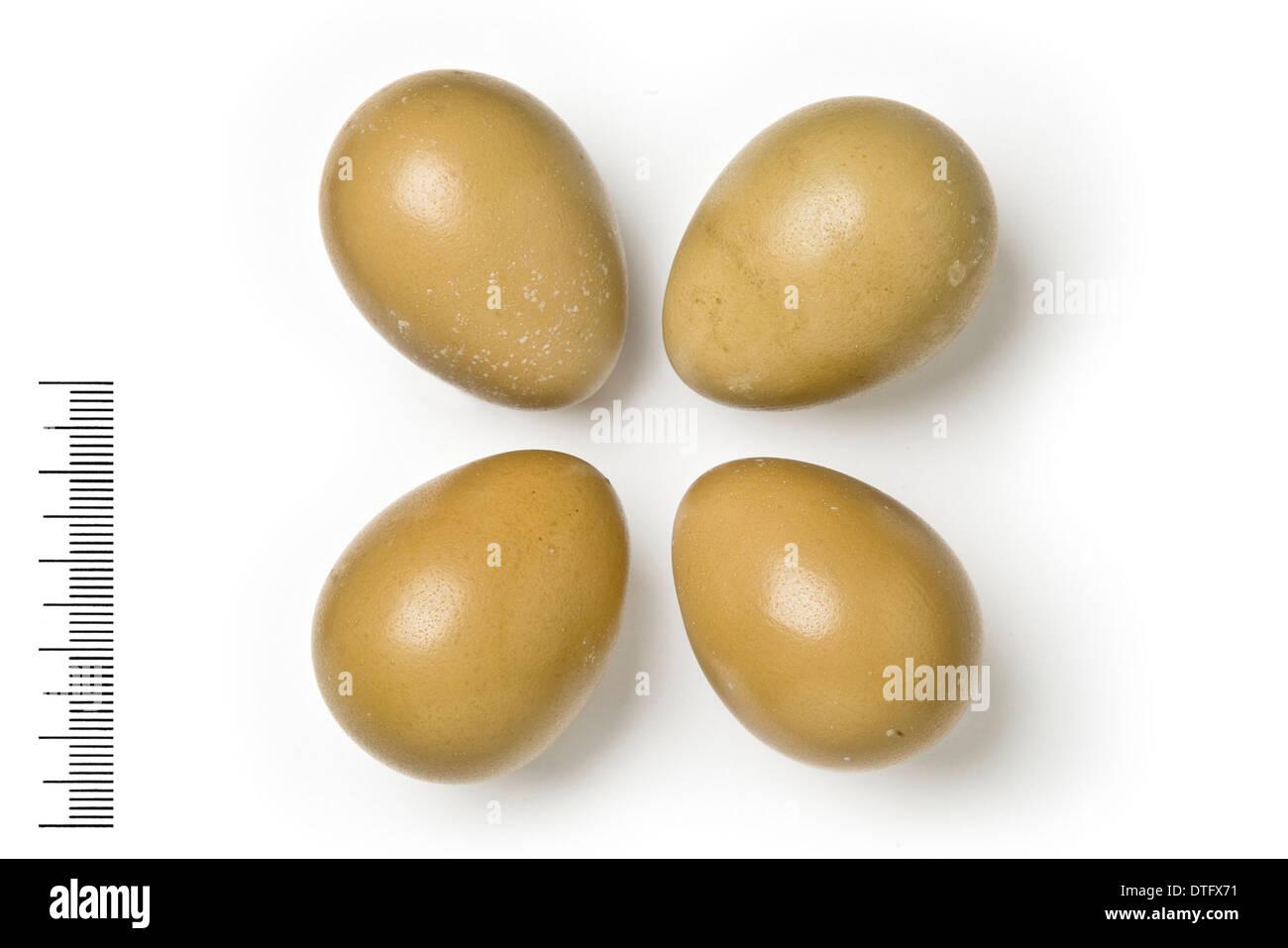 Francolinus francolinus, black francolin eggs - Stock Image