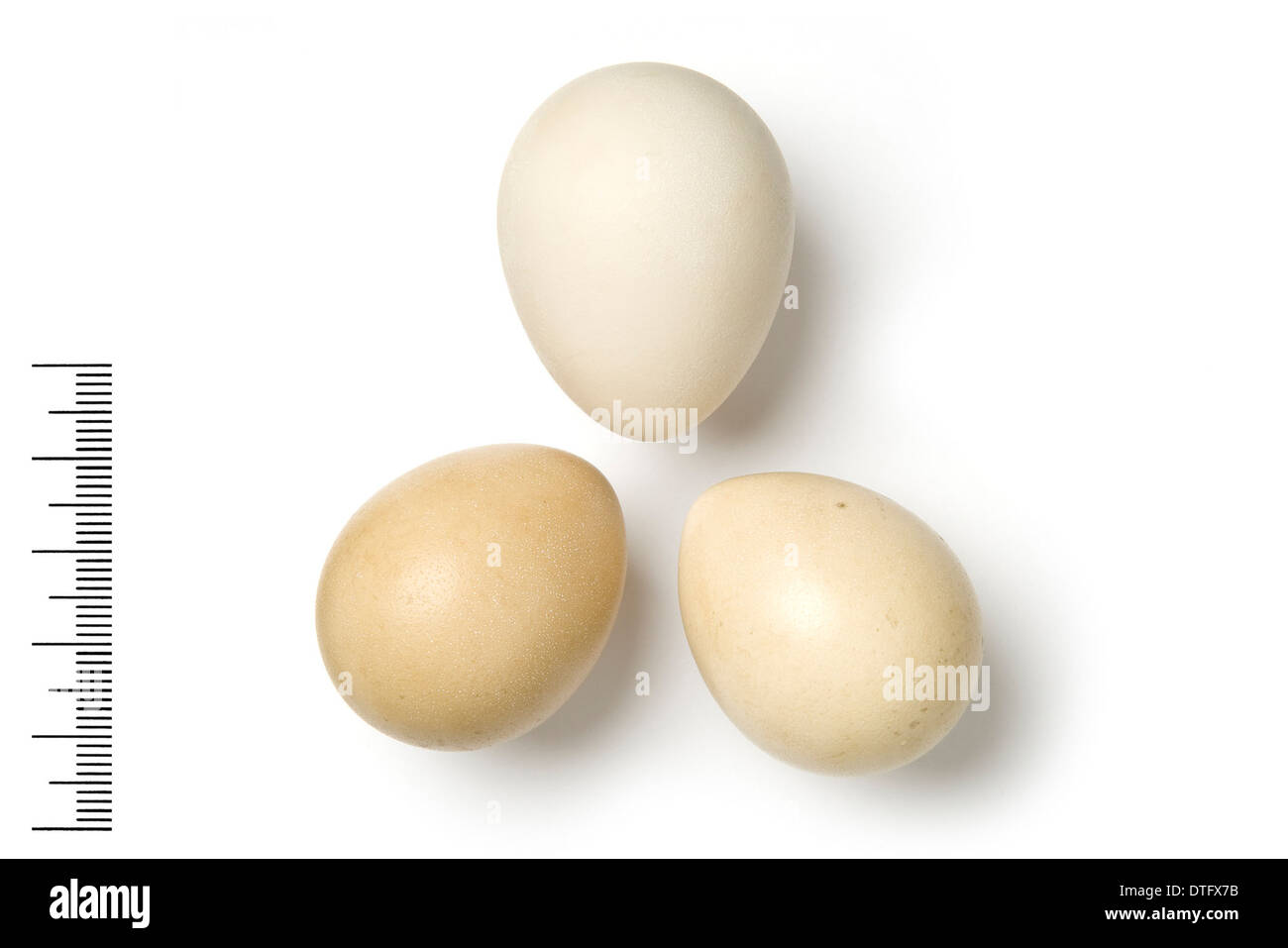 Francolinus bicalcaratus, double-spurred francolin eggs - Stock Image