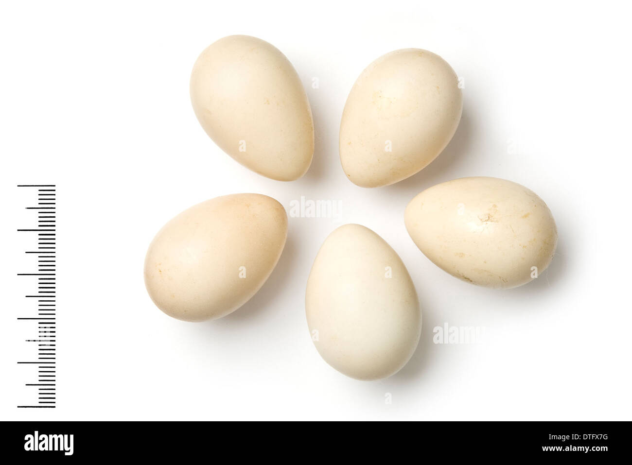 Ammoperdix heyi, sand partridge eggs - Stock Image