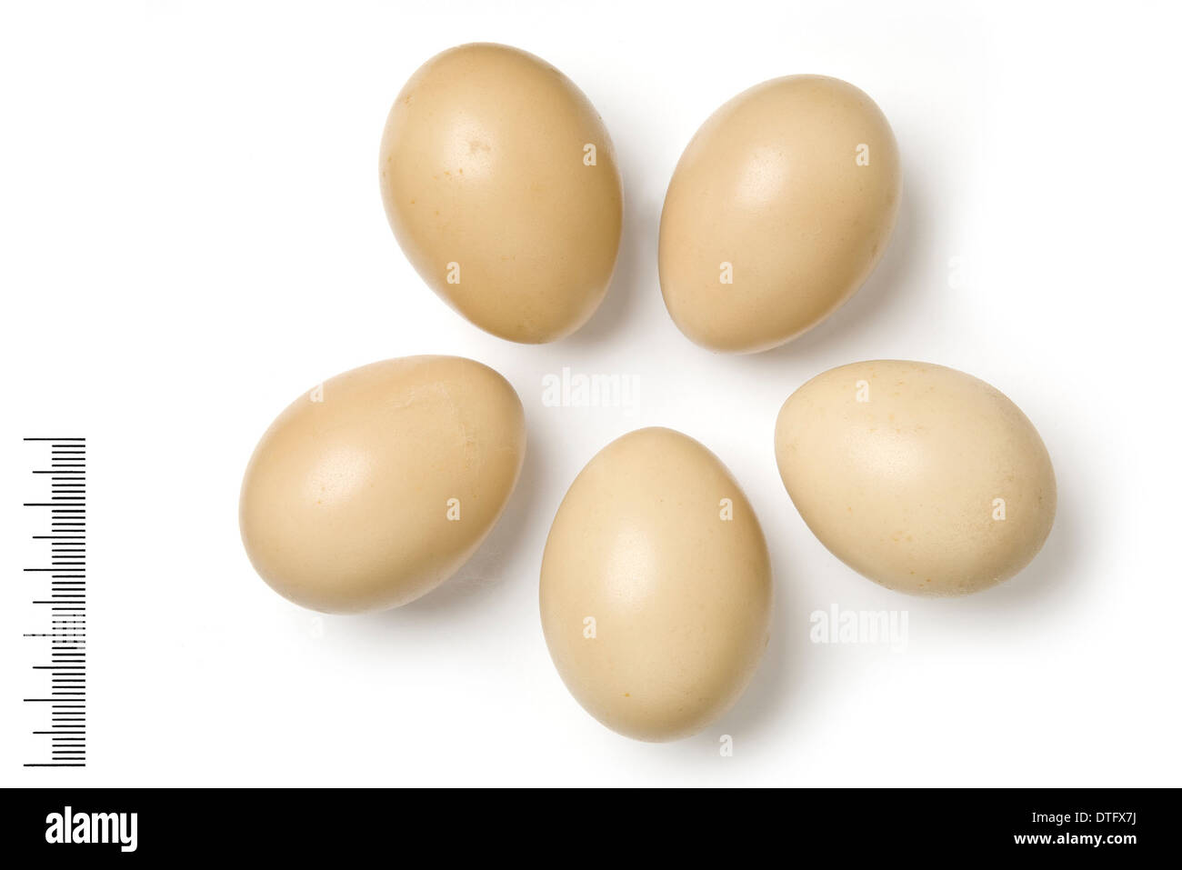 Syrmaticus reevesil, reeve's pheasant eggs - Stock Image