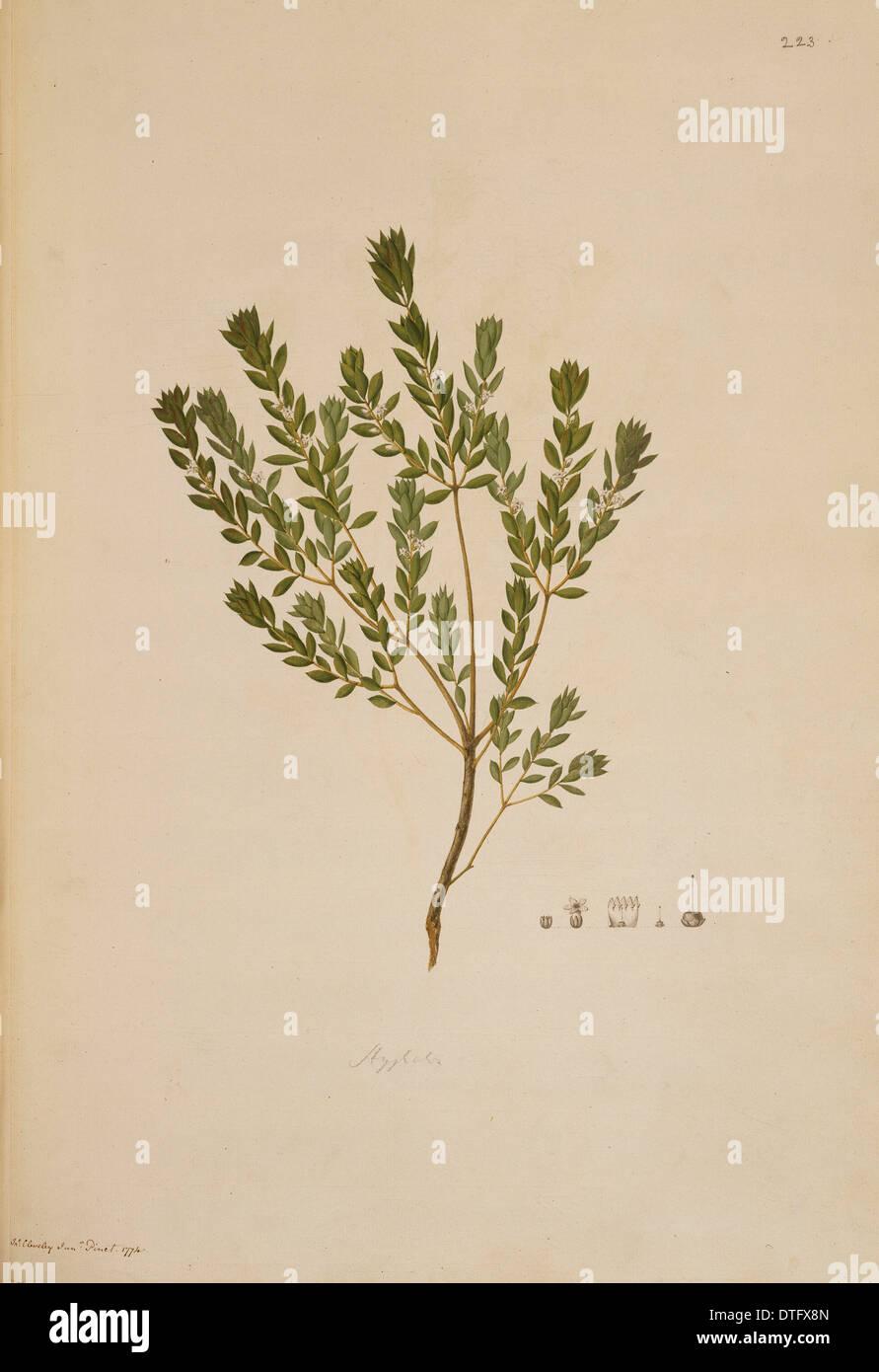 Leucopogon ruscifolius, bearded heath - Stock Image