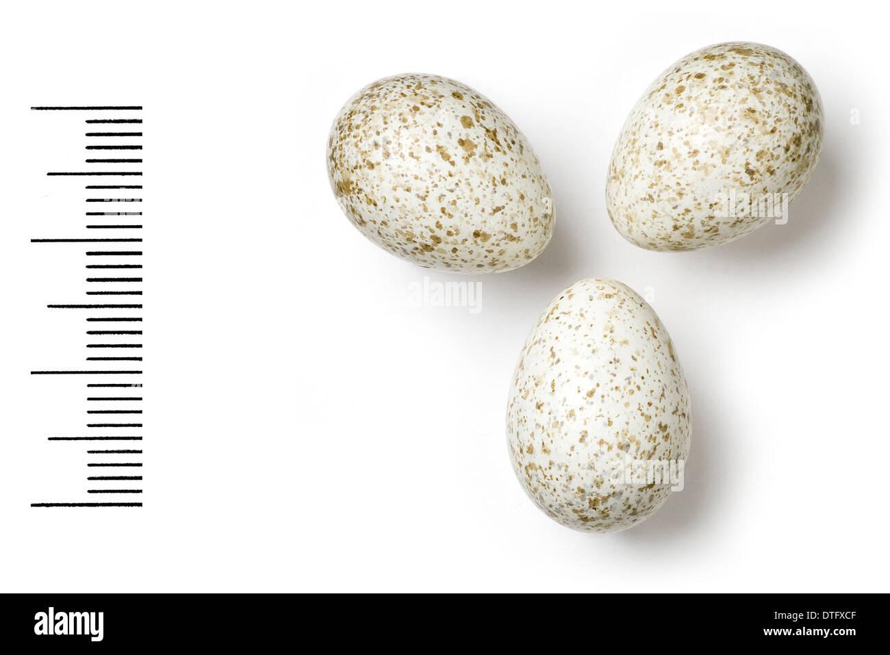 Calandrella raytal, indian short-toed lark - Stock Image