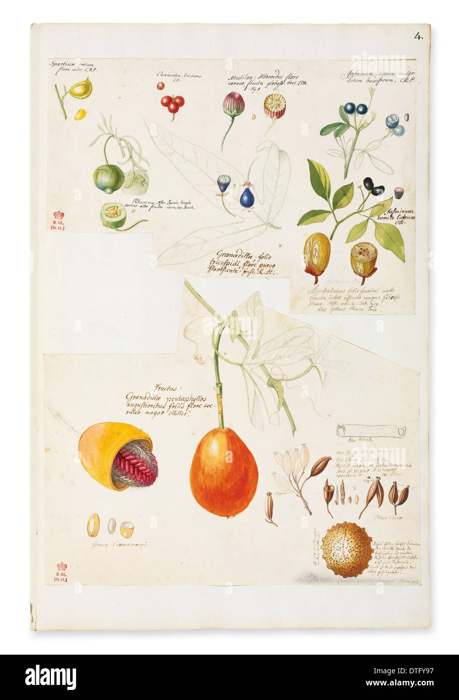 Illustration of rare fruits and seed - Stock Image