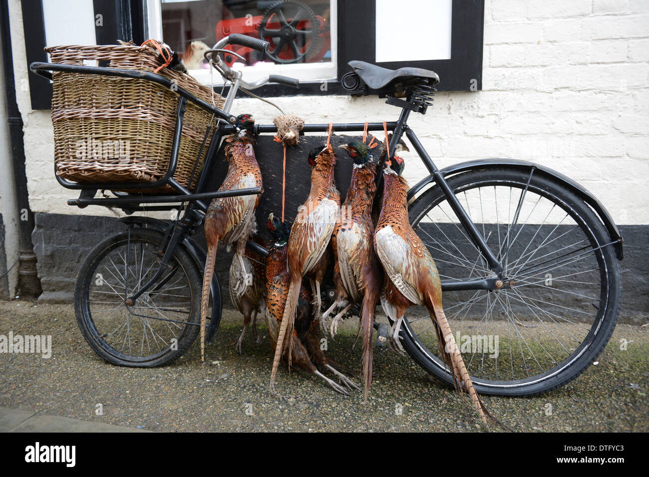 Dead Pheasant game birds on old bike outside butchers shop in Ludlow Britain UkStock Photo