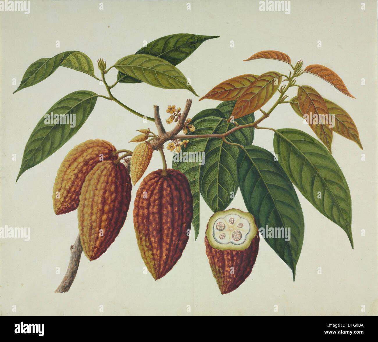 Theobroma cacao, cocoa plant Stock Photo