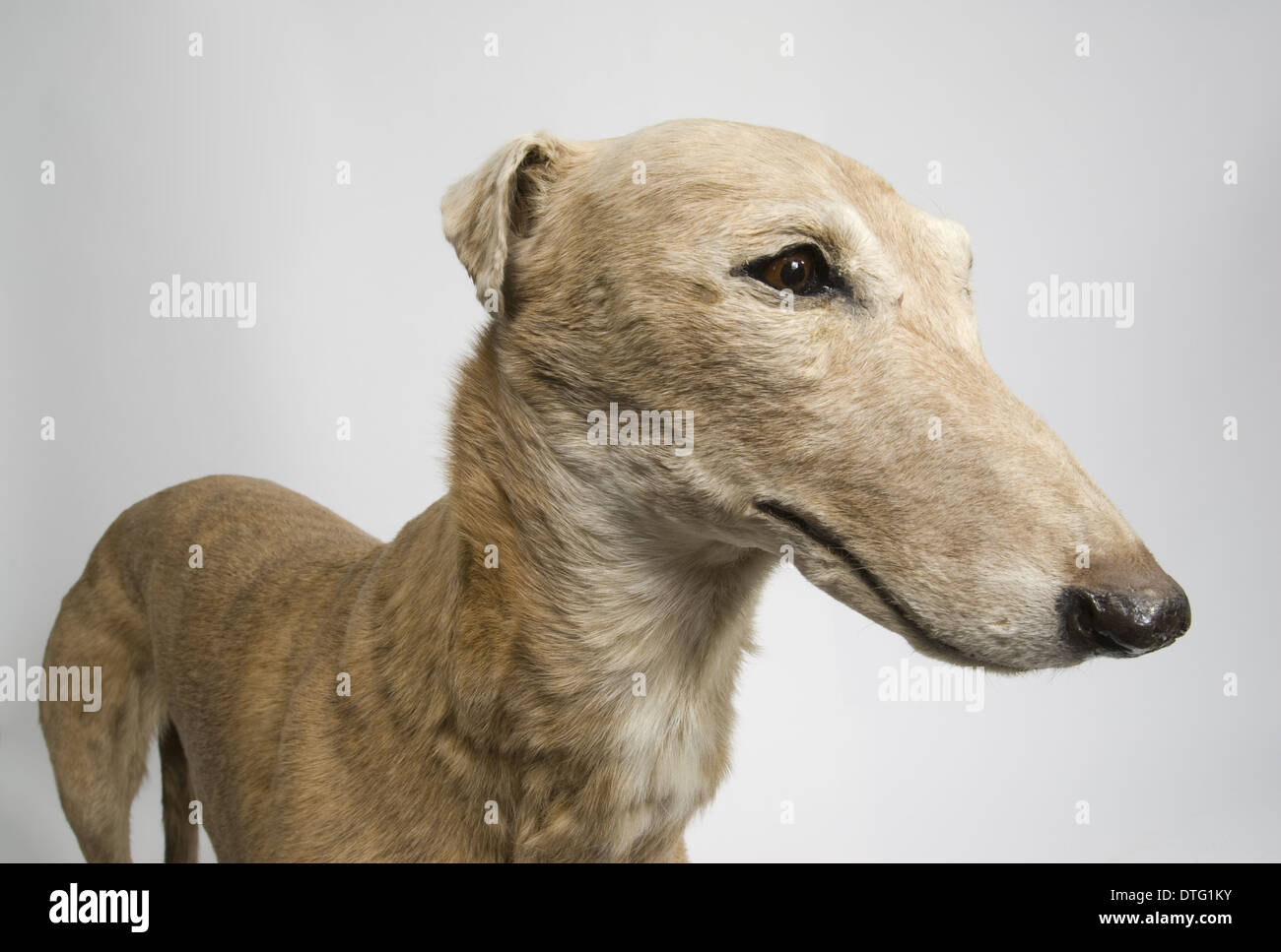 Mick the Miller, greyhound - Stock Image
