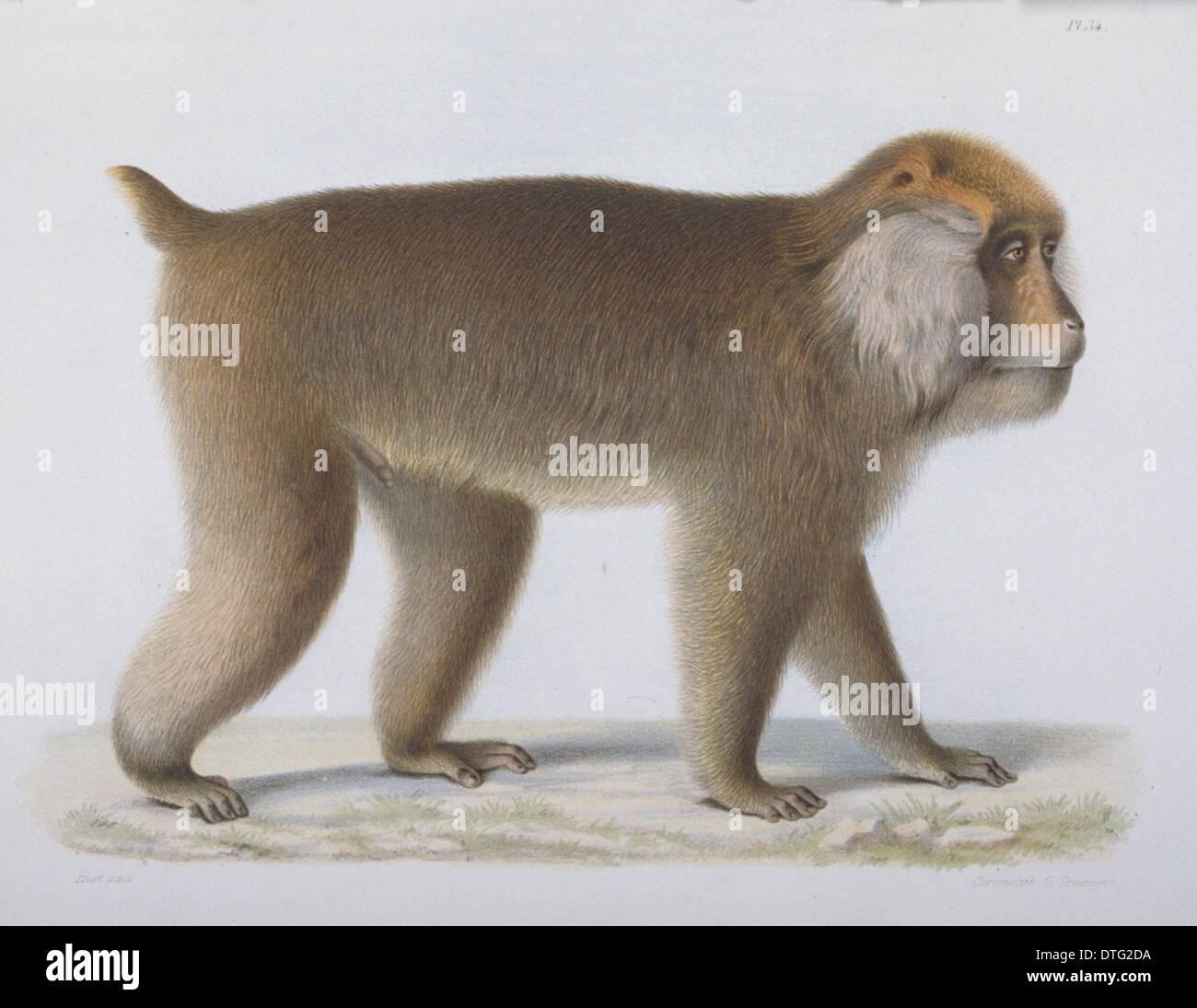 Macaca thibetana, Père David's macaque - Stock Image