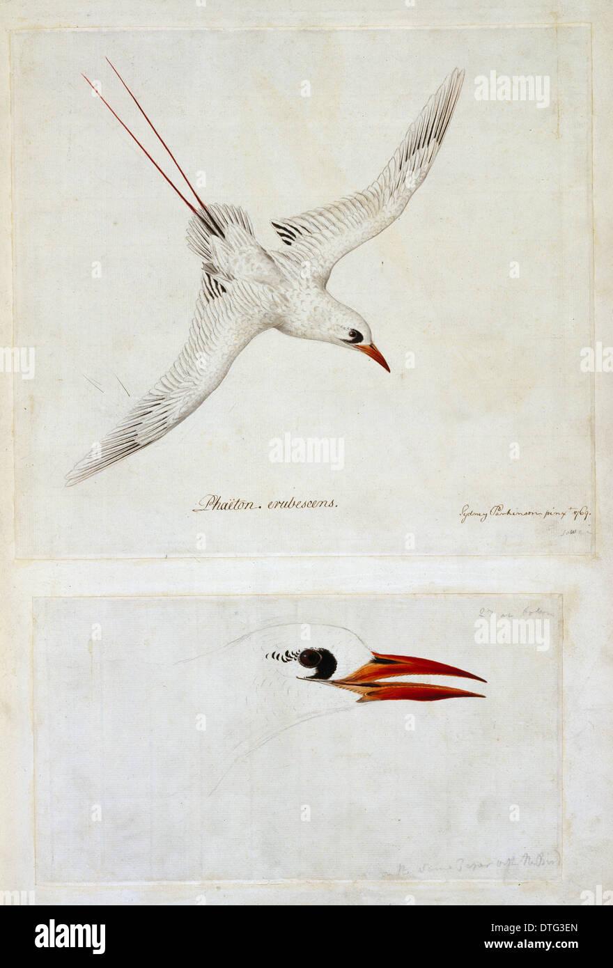 Phaethon rubricauda, red-tailed tropicbirdStock Photo