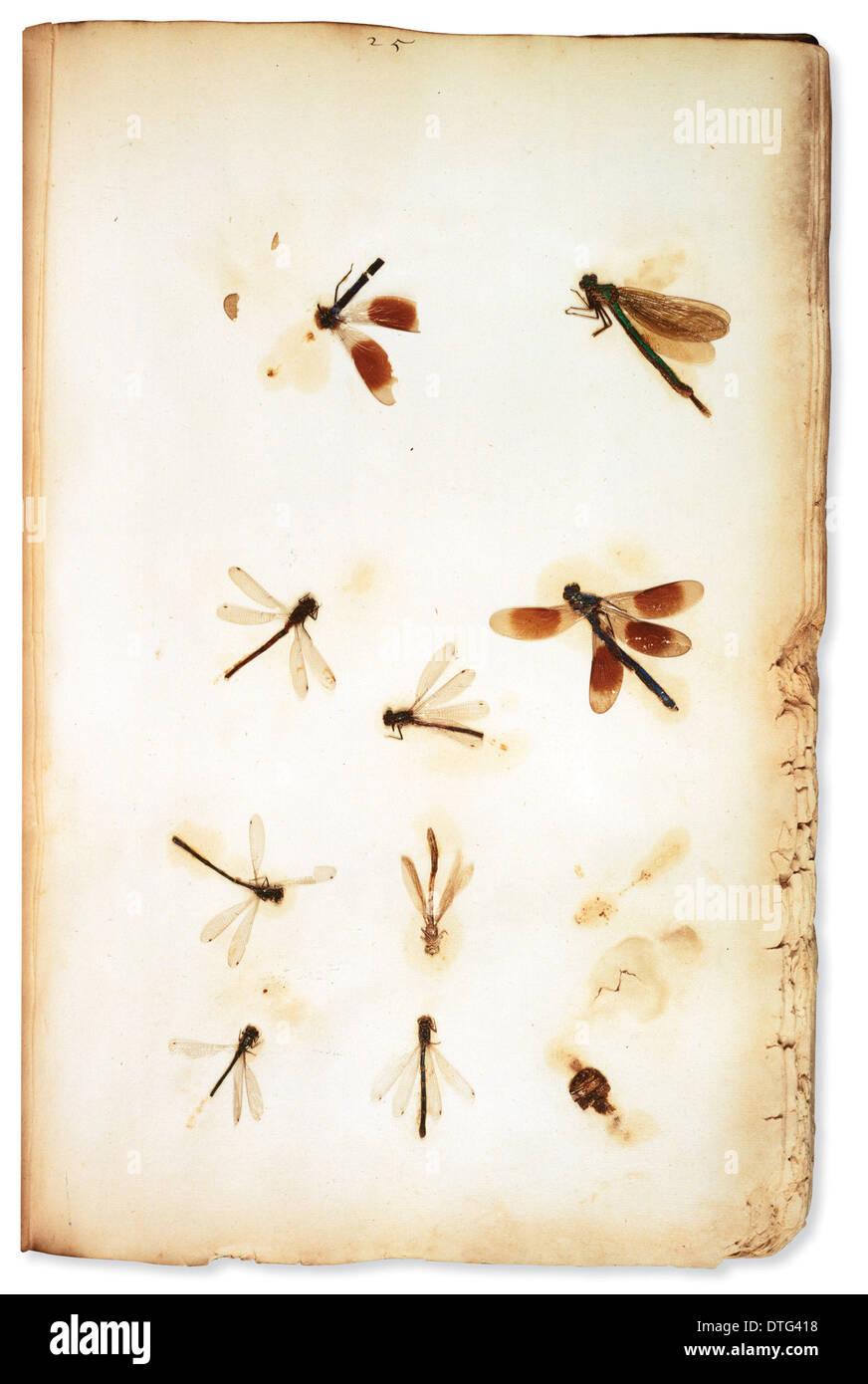 Pressed insects, mounted by botanist Leonard Plukenet (1642 - 1706). - Stock Image