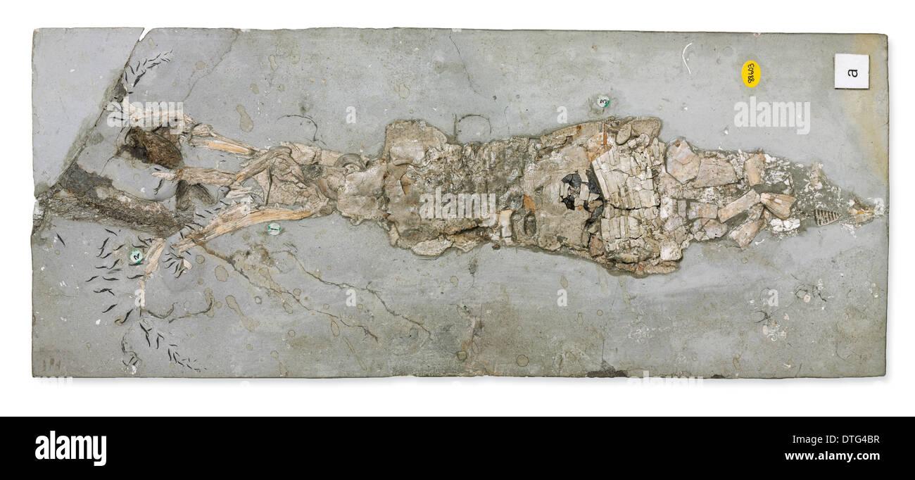 Belemnotheutis antiquus - Stock Image