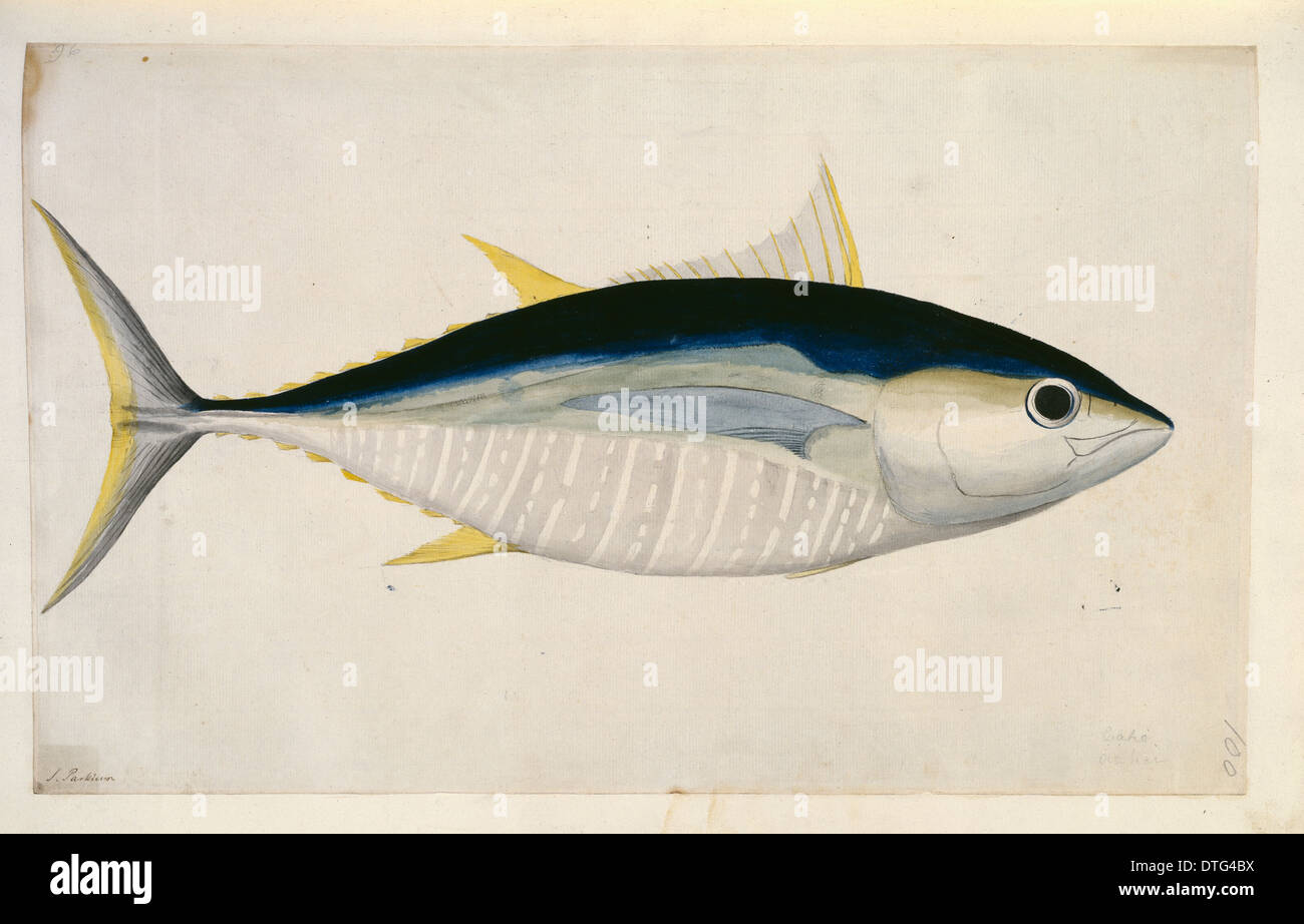 Thunnus albercares, yellowfin tuna Stock Photo: 66737550 - Alamy