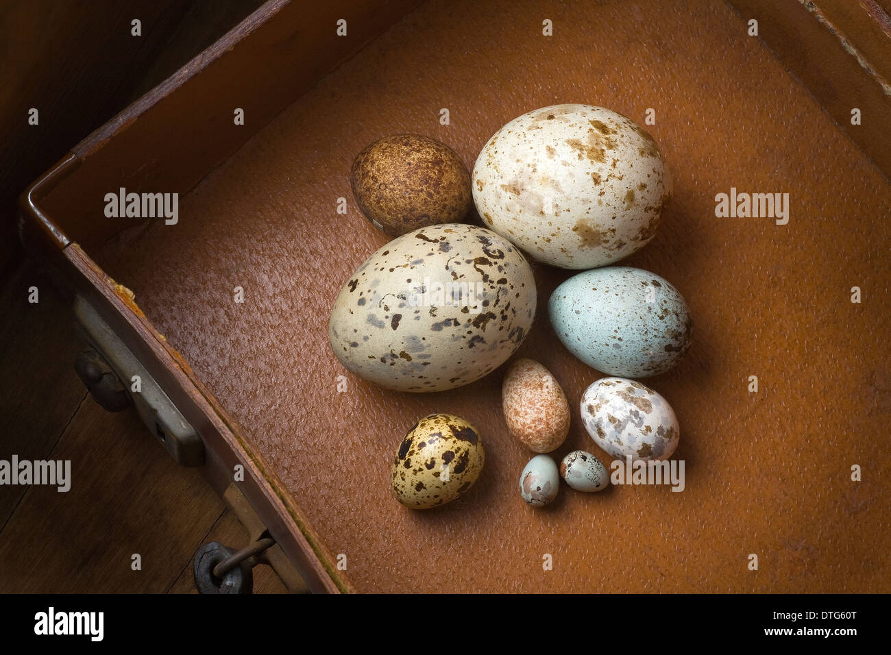 Clutch of eggs - Stock Image