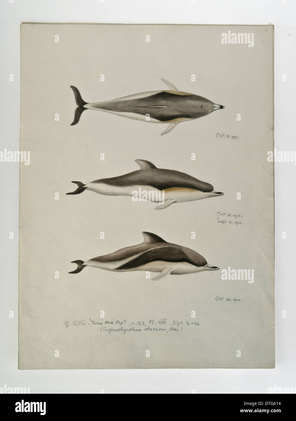 Sketch of Dolphins by Edward Wilson - Stock Image