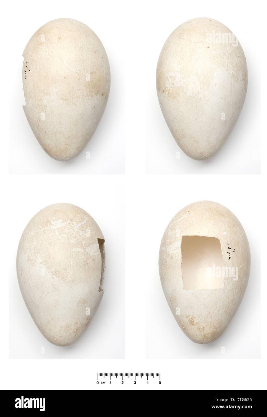 Aptenodytes forsteri, Emperor Penguin egg - Stock Image