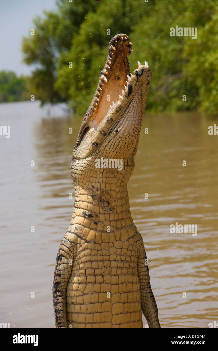 Jumping Saltwater Crocodile (Crocodylus porosus), Adelaide River, Northern Territory, Australia - Stock Image