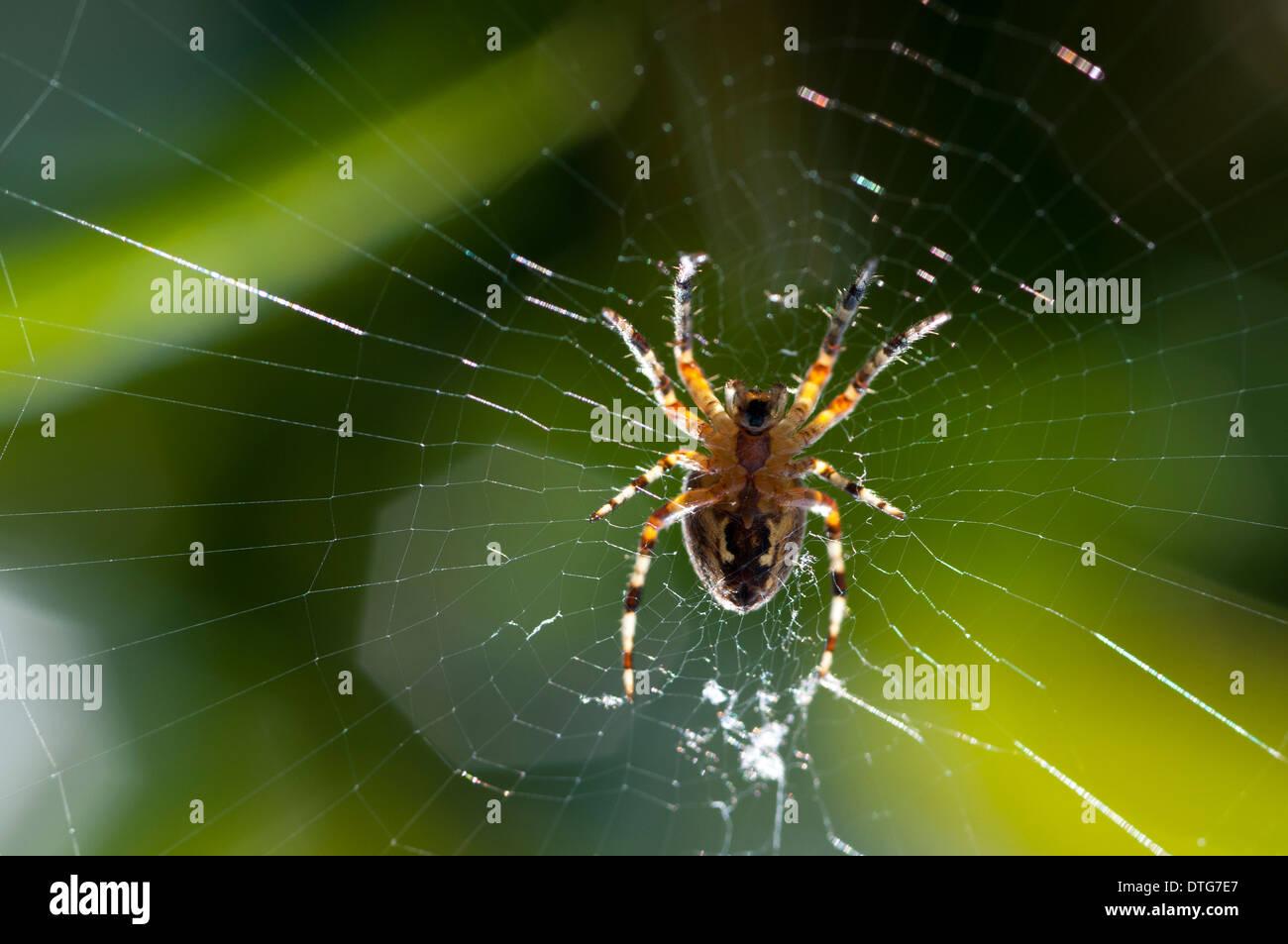 Orb-Weaving Spider (Araneus diadematus) on his web with morning dew. - Stock Image