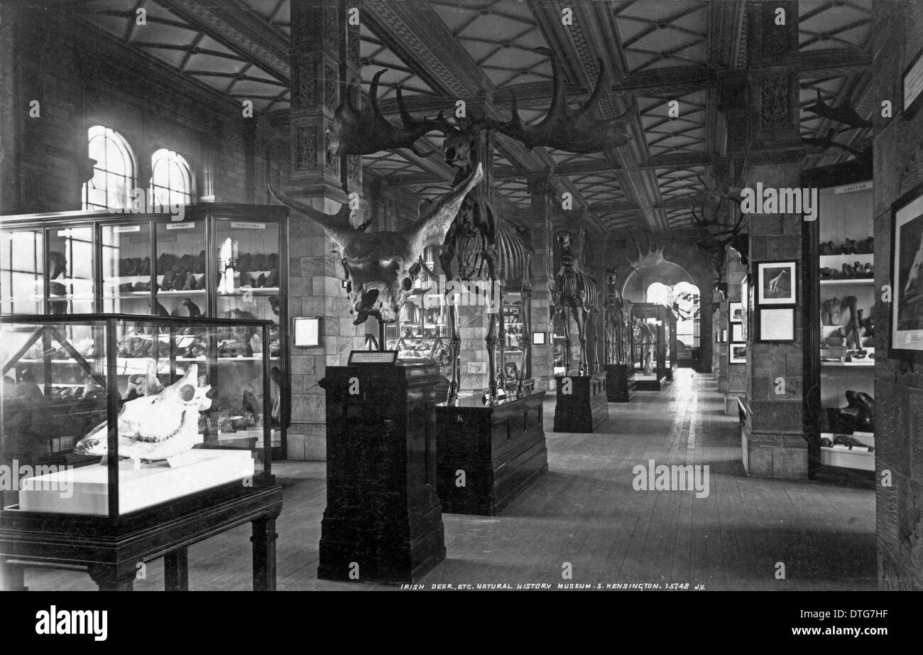 Fossil Mammal Gallery. July 1902 - Stock Image