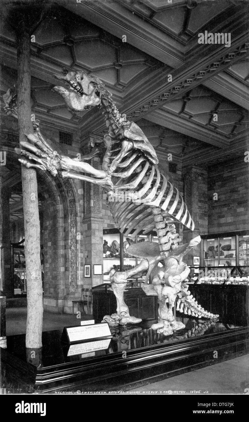 Skeleton of Giant Ground Sloth (Megatherium Americanum). July 1902 - Stock Image