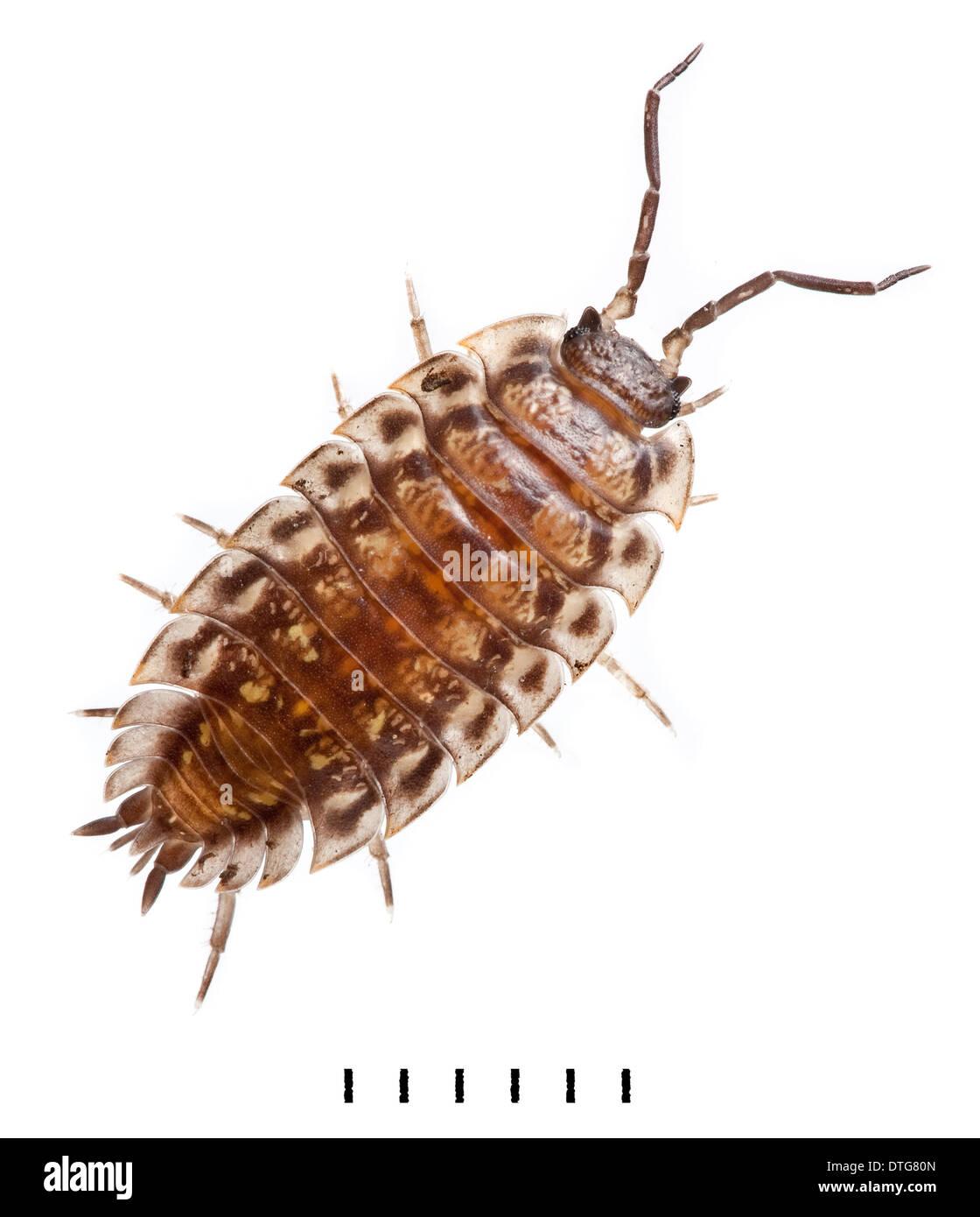 Oniscus asellus, Common Shiny Woodlouse - Stock Image