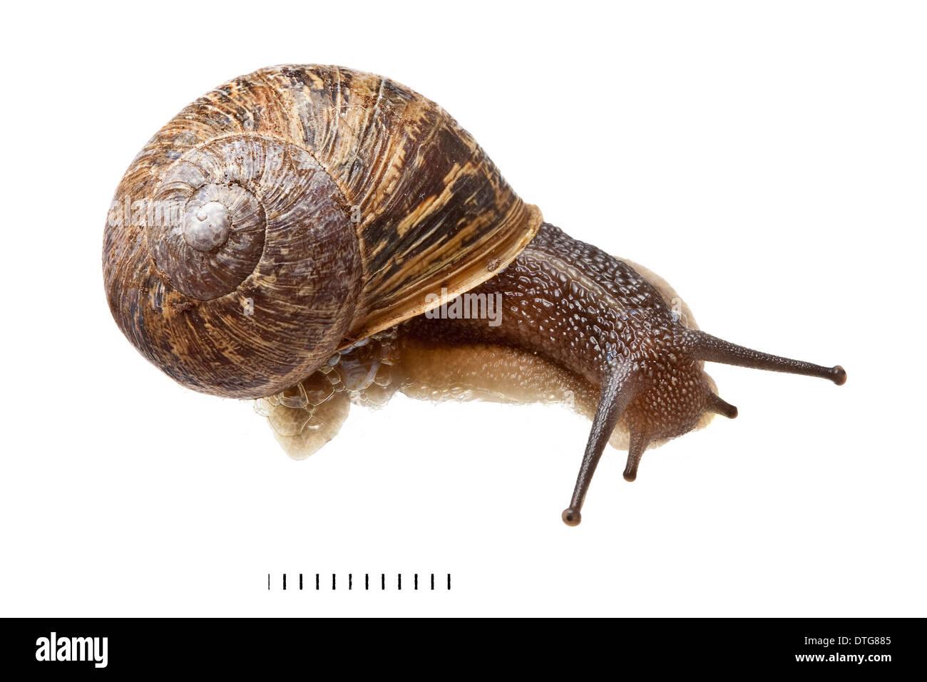 Garden Snail Anatomy Miifotos