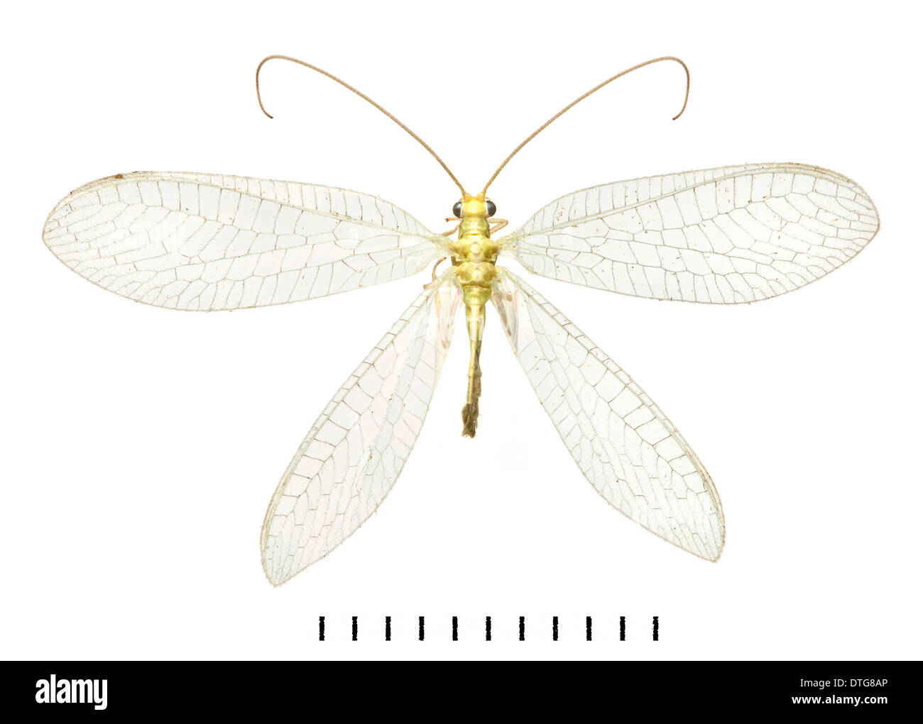 Lacewing - Stock Image