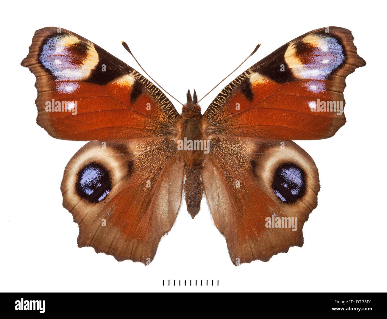 Inachis io, Peacock butterfly - Stock Image