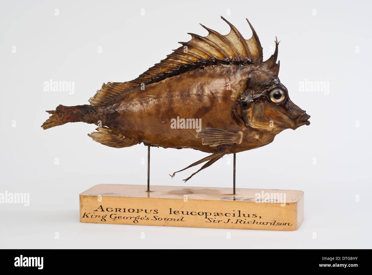 Southern pigfish, Congiopodus leucopaecilus (originally Agriopus leucopaecilus) - Stock Image