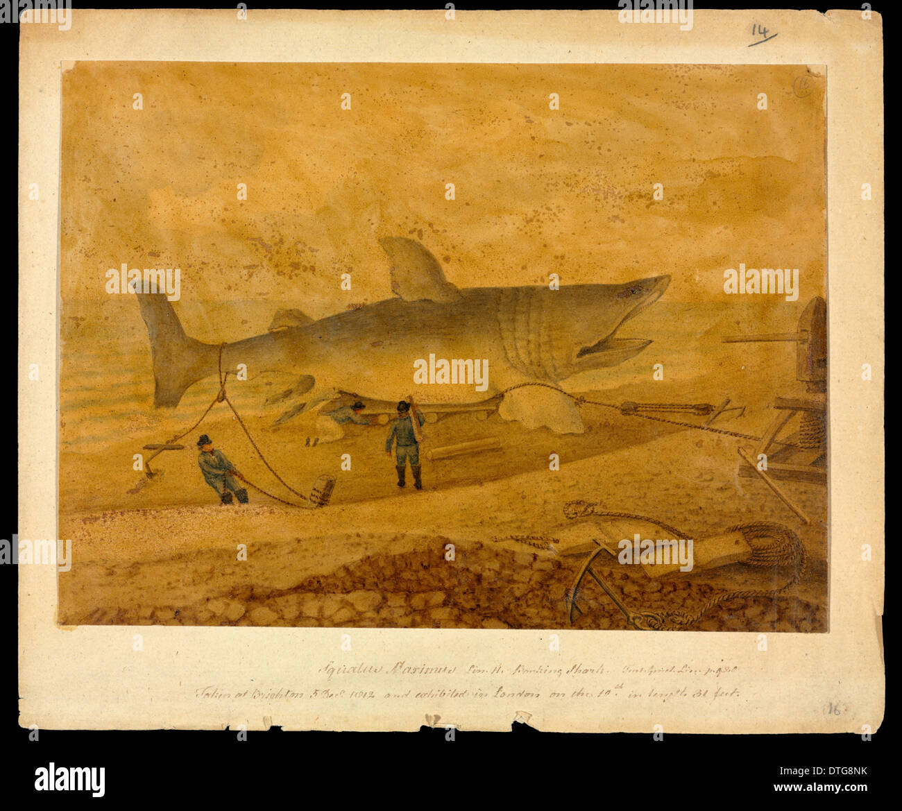 Squalus maximus, Basking shark taken at Brighton 5 Dec 1812 and exhibited in London on the 19th, in length 31 feet - Stock Image