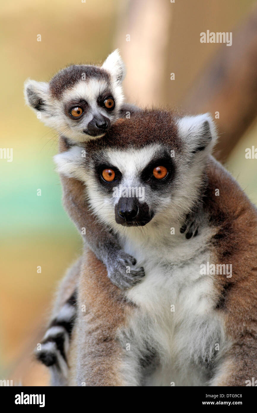 Ring-tailed Lemurs, female with young, Berenty Reserve, Madagascar / (Lemur catta) - Stock Image