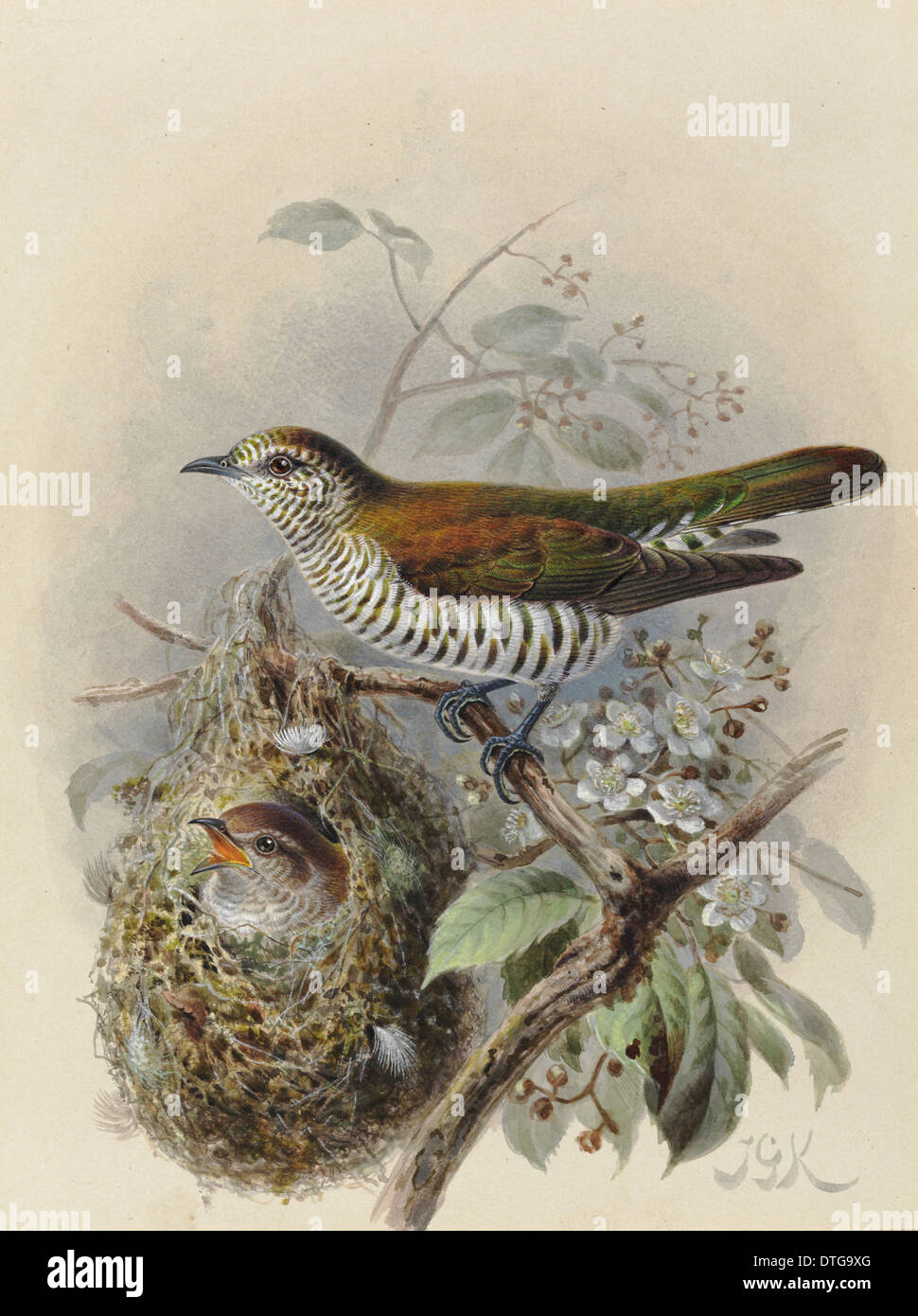 Shining Cuckoo 'Pipiwharauroa', Chrysococcyx lucidus lucidus (adult with young in Grey Warbler nest) - Stock Image