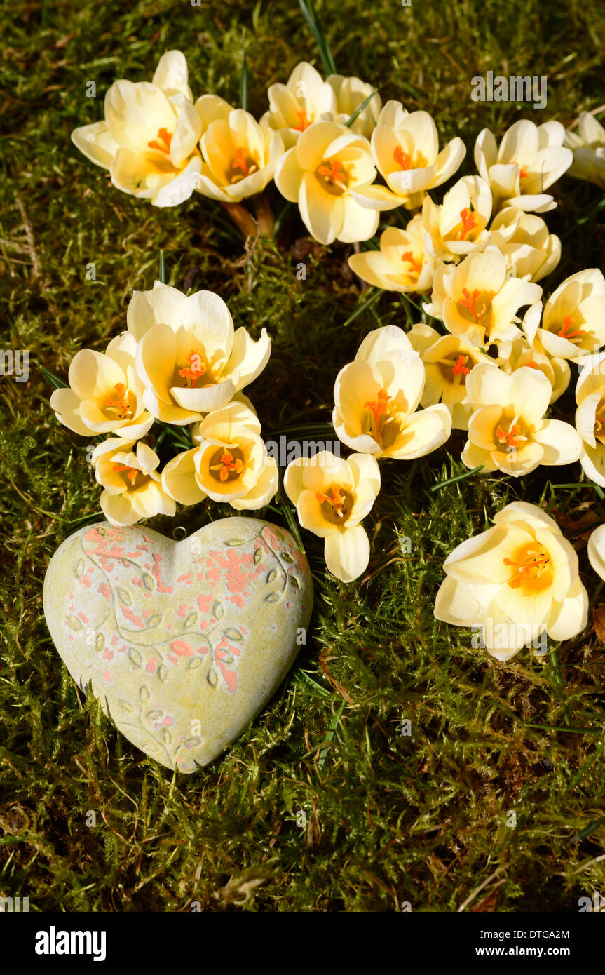heart and yellow crocus flowers - Stock Image