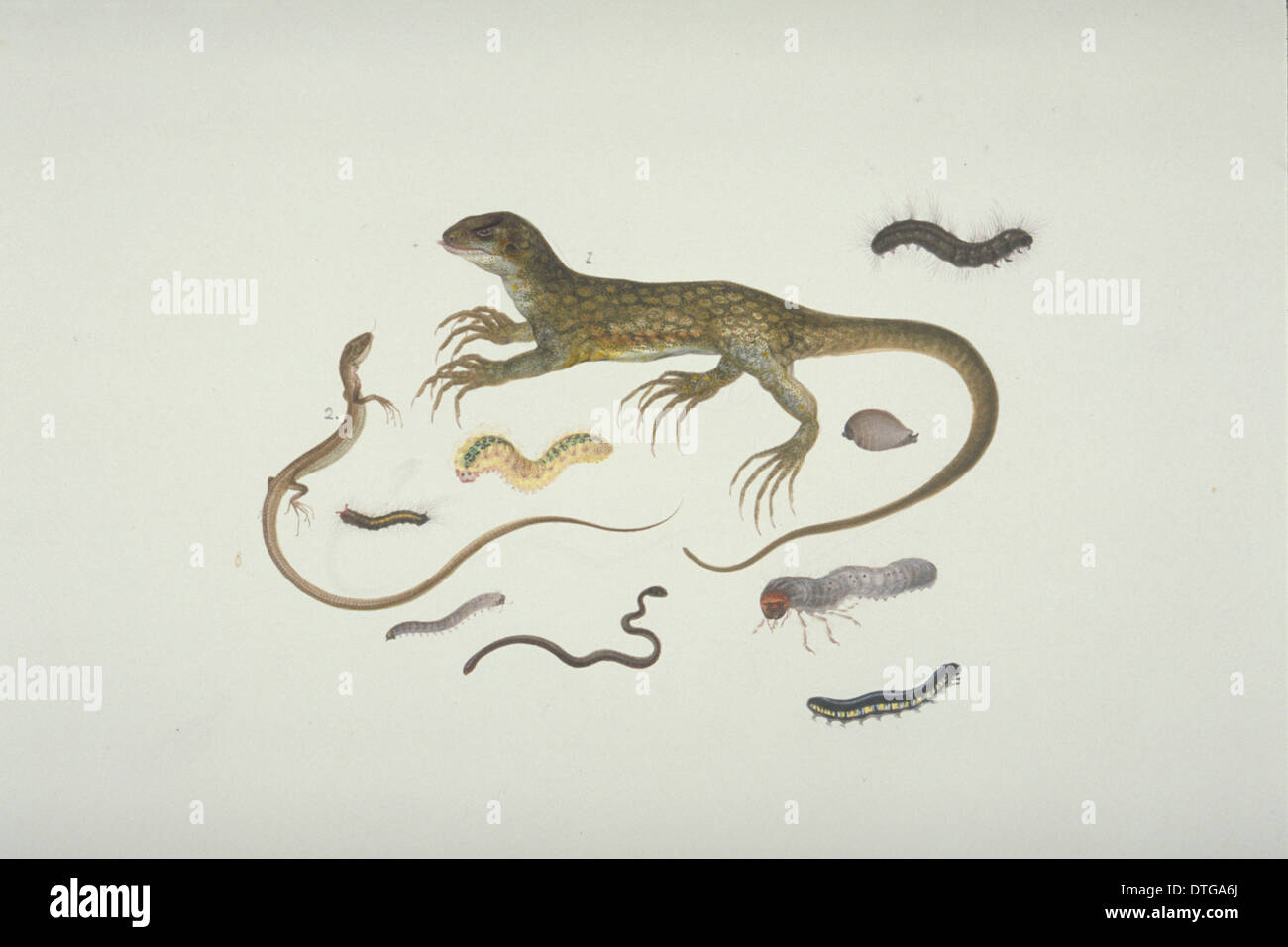 Plate 100 from the John Reeves Collection (Zoology) - Stock Image
