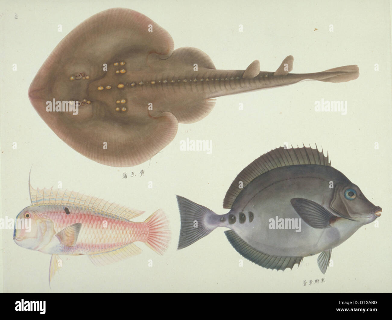 Plate 146 from the John Reeves Collection - Stock Image