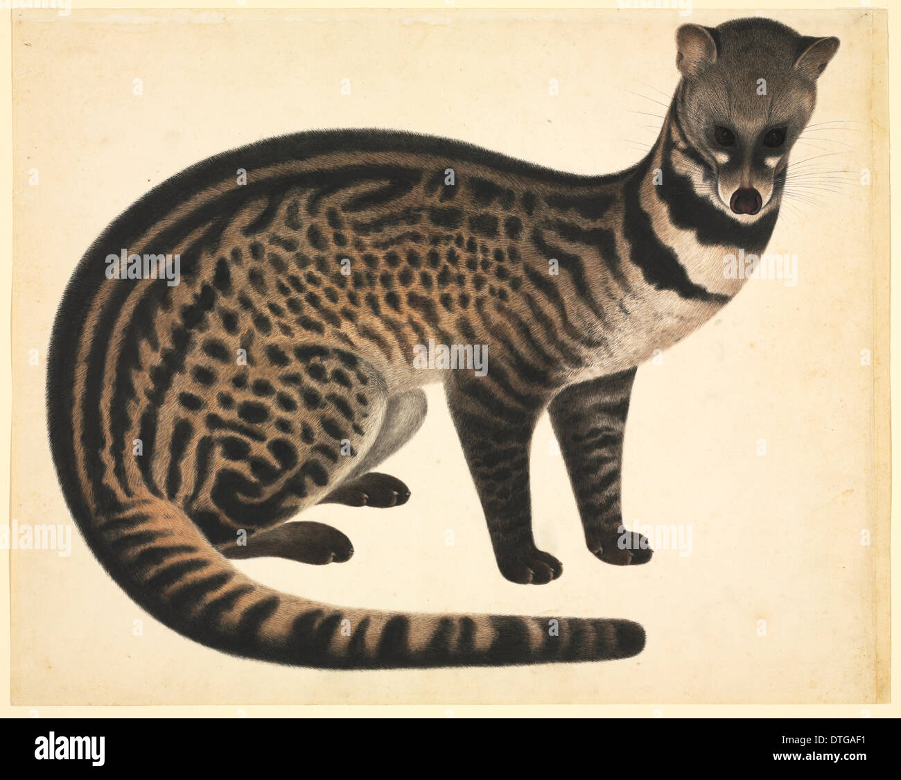 Plate 77 of the Reeves Collection (Zoology) - Stock Image