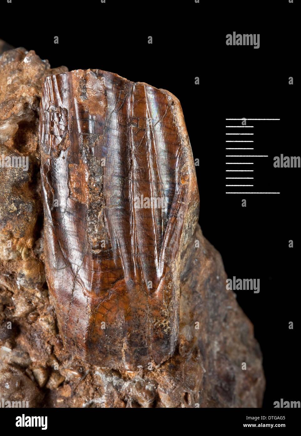 Iguanodon tooth - Stock Image