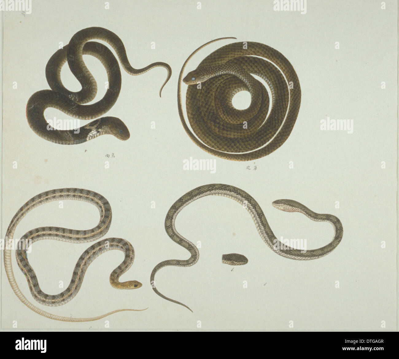 LS Plate 104 from the John Reeves Collection (Zoology) - Stock Image