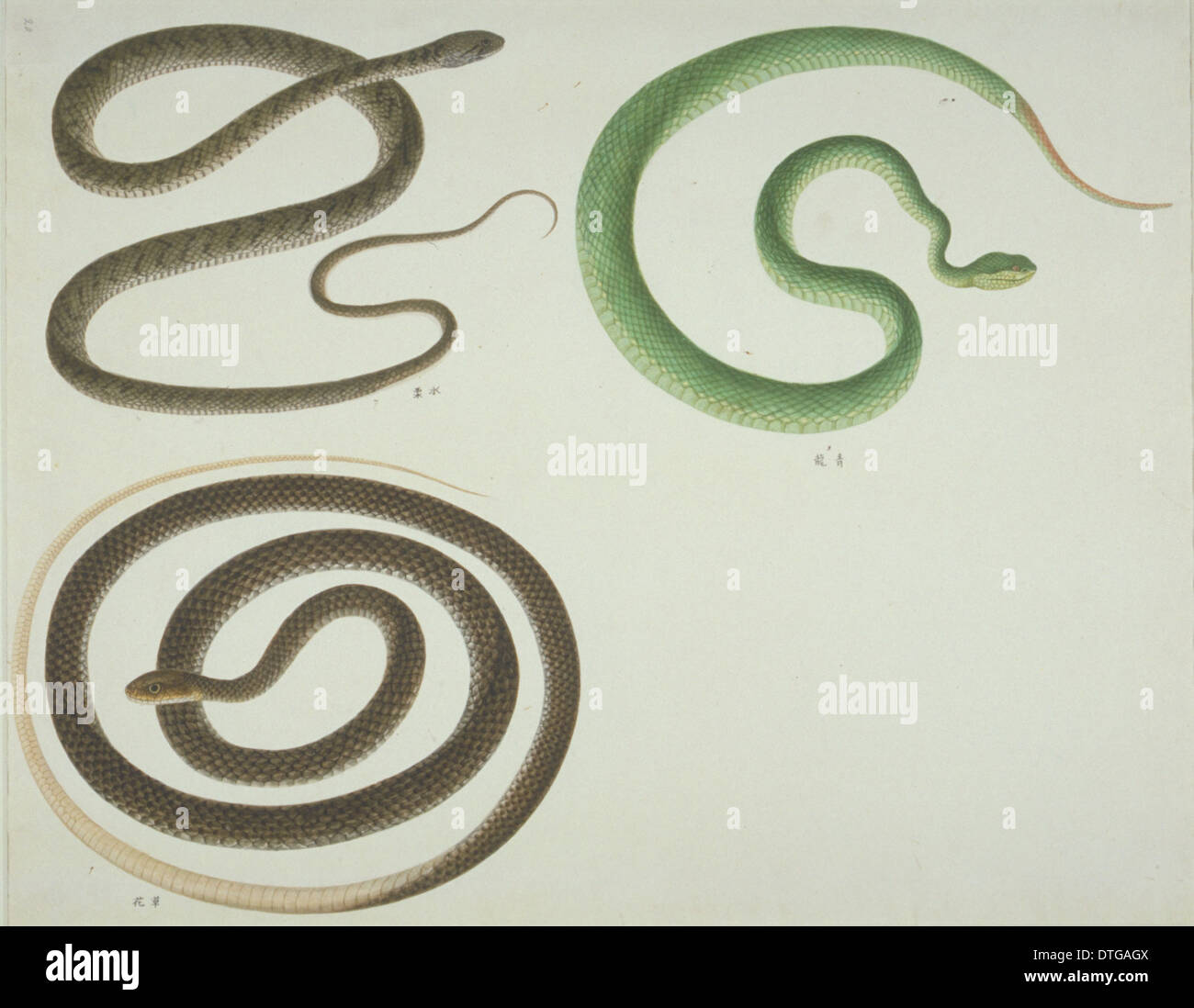 LS Plate 107 from the John Reeves Collection (Zoology) - Stock Image