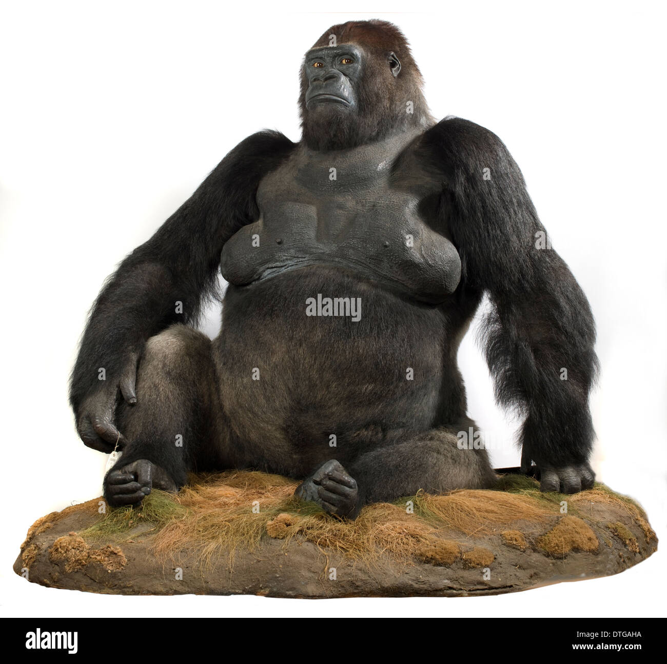 Guy (1946-1978), a western lowland gorilla, Gorilla gorilla gorilla. - Stock Image