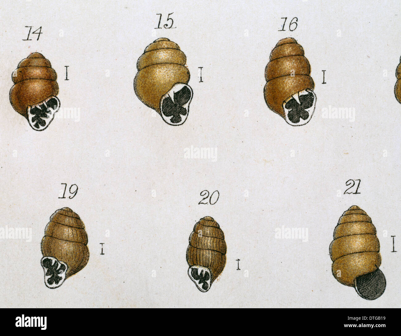 Vertigo sp. marsh whorl snails - Stock Image