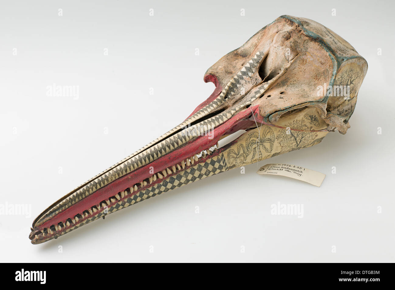 Rough-toothed dolphin skull with ink scrimshaw decoration Stock ...