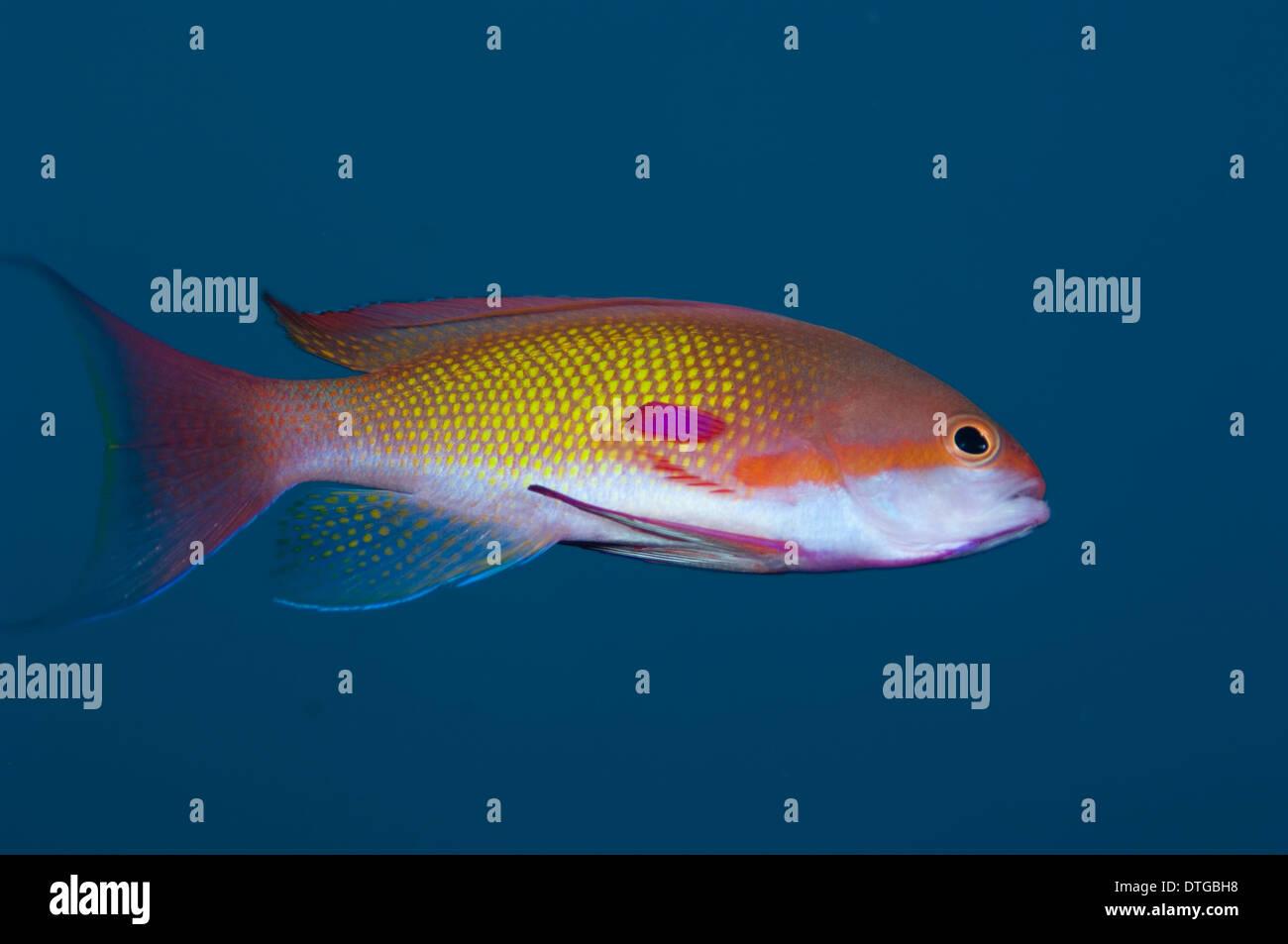 Male Scalefin Anthias, Pseudanthias squamipinnis, The Maldives - Stock Image