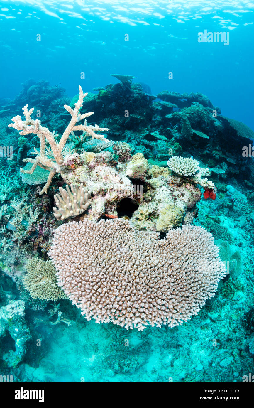 A shot of healthy tropical tabletop coral in Fiji - Stock Image