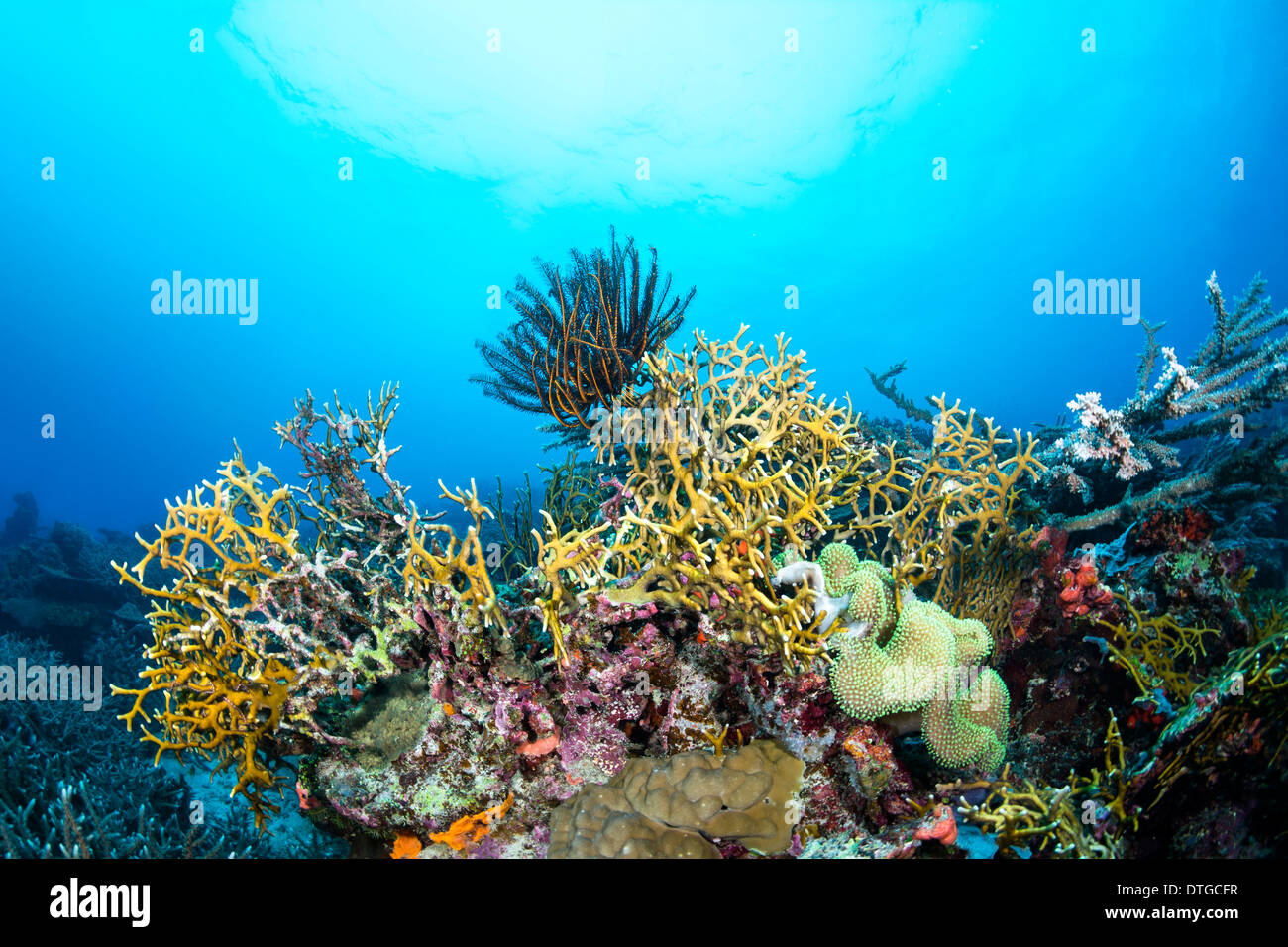 Dangerous fire coral lines a tropical reef in Fiji while a crinoid feeds on plankton suspended in the water column. - Stock Image