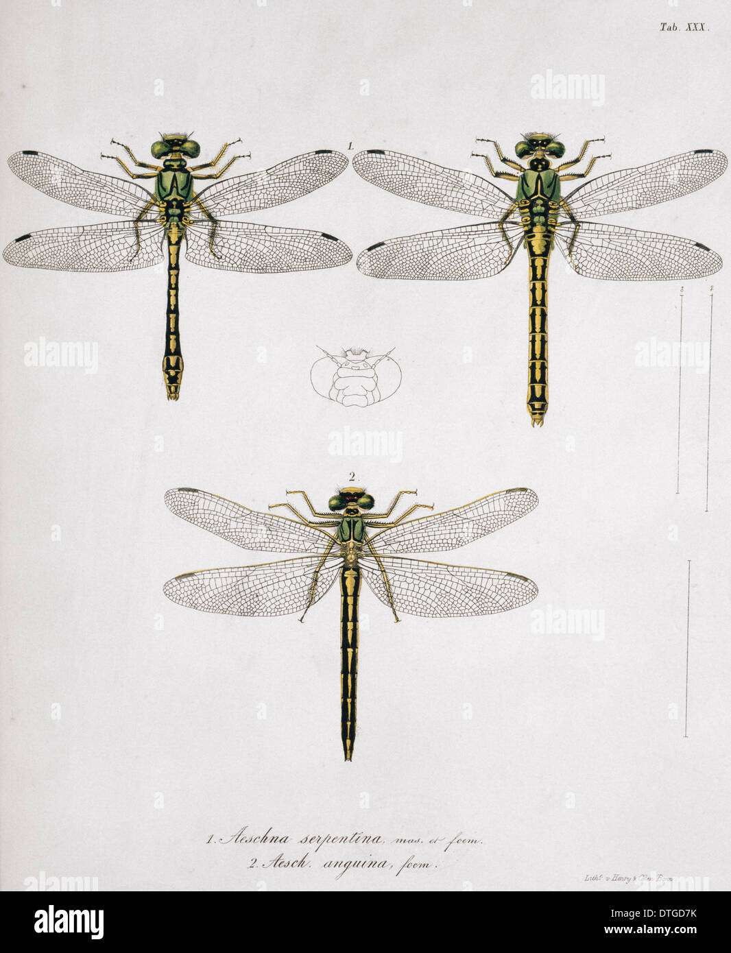 Plate 30 from Libellulinae Europaeae by de Charpentier - Stock Image