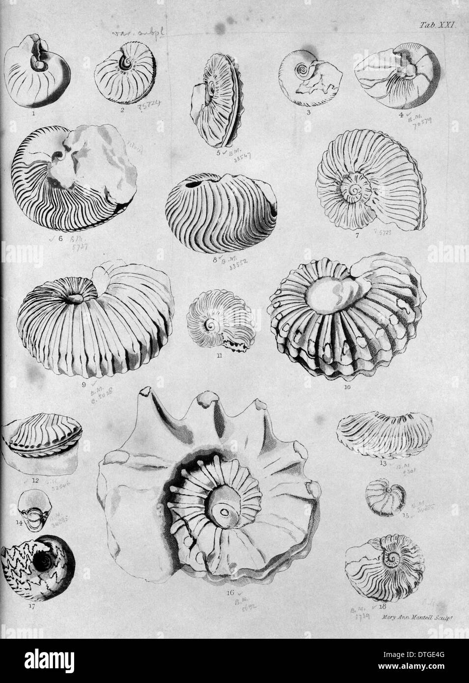 Collection of fossilised molluscs - Stock Image